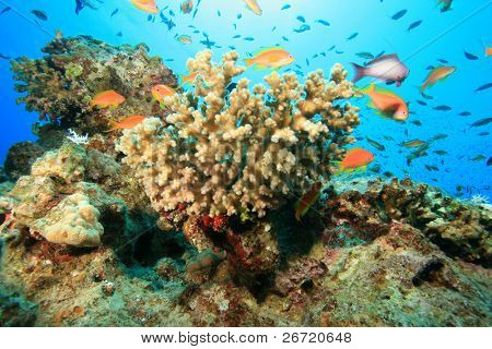 Acropora Coral and Anthias