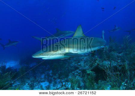 Caribbean Reef Sharks (Carcharhinus perezii)
