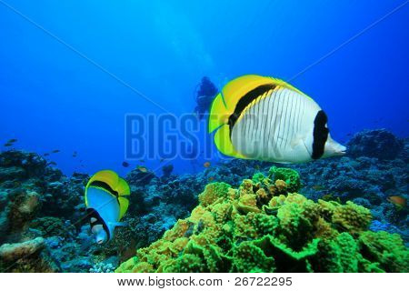 Lined Butterflyfish (Chaetodon lineolatus) with Scuba DIvers in background