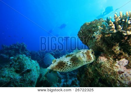 Yellowspotted Burrfish (Cyclichthys spilostylus) with scuba divers in background