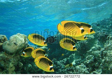 Raccoon Butterflyfish (Chaetodon fasciatus)