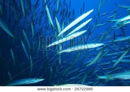Shoal of Yellowtail Barracuda (Sphyrena flavicauda)