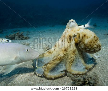 Reef Octopus hunting with goatfish following
