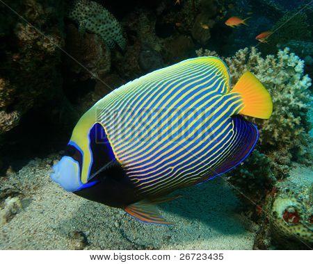 Emperor Angelfish (Pomacanthus imperator)