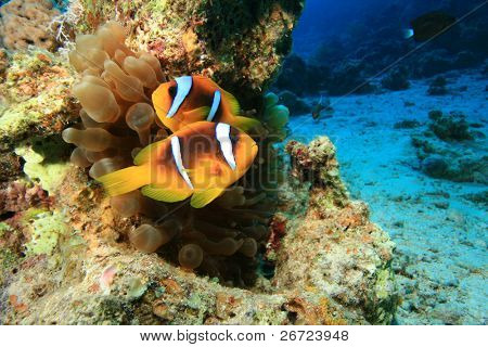 Pair of Red Sea Anemonefish (Amphiprion bicinctus) in Bubble Anemone