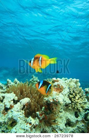 Red Sea Anemonefish (Amphiprion bicinctus)