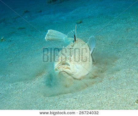 Whitemargin Stargazer (Uranoscopus sulphureus) buries itself in the sand