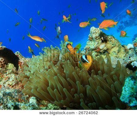 Anemonefish and Lyretail Anthias