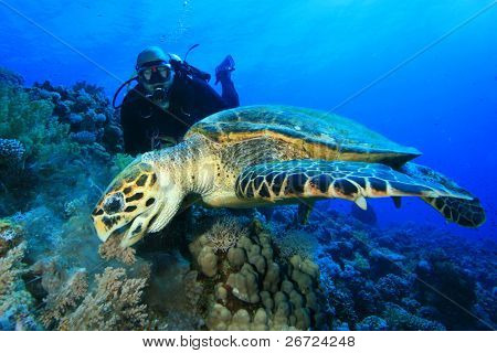 Hawksbill Sea Turtle feeds on soft coral while Scuba Diver observes