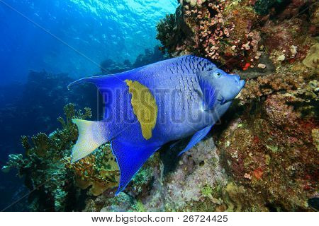 Yellowbar Angelfish (Pomacanthus maculosus) feeding on coral polyps in the Red Sea