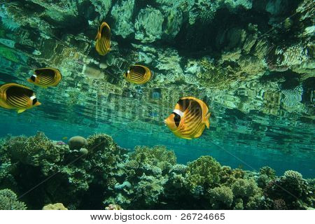 Red Sea Raccoon Butterfly fish