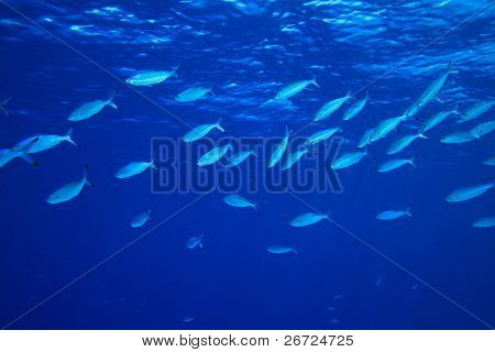 Shoal of Red Sea Fusiliers feeding on plankton