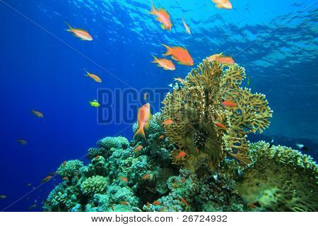 Lyretail Anthias on a coral reef in the Red Sea