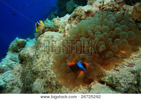Red Sea Anemonefish in a Bubble Anemone