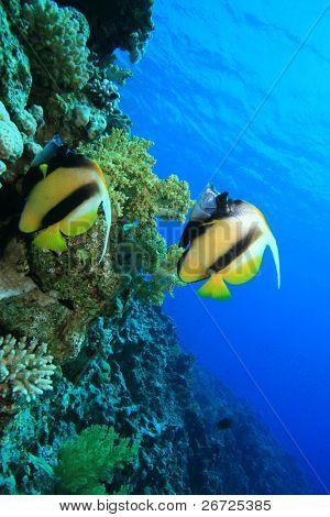 Pair of Red Sea Bannerfish (Heniochus intermedius)