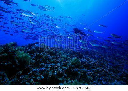 Scuba Diver swims through shoal of Fusilier Fish