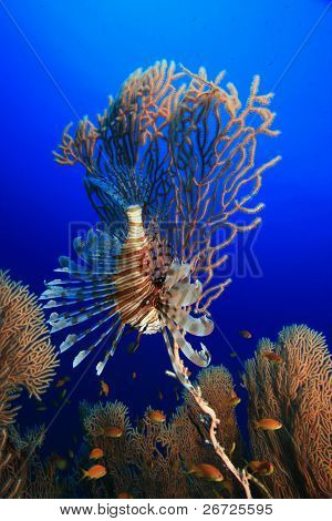 Lionfish and Gorgonian Fan Corals