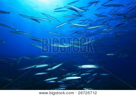 Shoal of Yellowtail Barracuda fish in the Red Sea