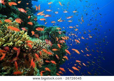 Hard Corals and Lyretail Anthias Fish