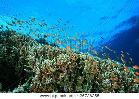 Tropical Coral Reef and Colorful Anthias Fish