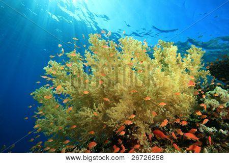 Soft Coral and Lyretail Anthias fish