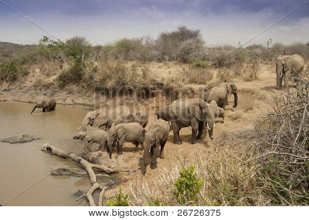 Herd of African Elephants drinking at a Waterhole