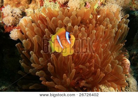 Red Sea Anemonefish (Clownfish) in Bubble Anemone