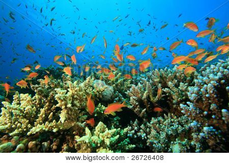 Lyretail Anthias fish and Acropora Hard Corals on a Red Sea reef