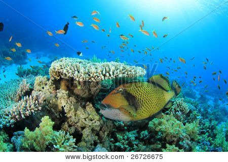 Titan Triggerfish under  a Table Coral