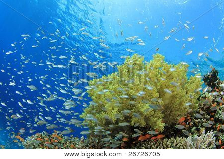 Shoal of Damselfish and Soft Corals on a reef in the Red Sea