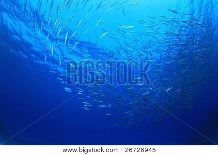 School of Fish: Yellowtail Barracuda