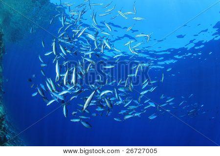 School of Fusilier Fish in blue ocean