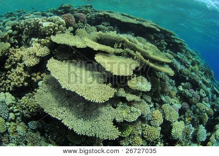 Coral Reef in the Red Sea with Acropora Table Corals