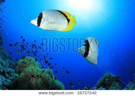 Pair of Lined Butterflyfish (chaetodon lineolatus) on coral reef in the Red Sea