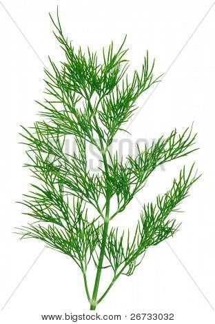 Fresh green dill  twigs, isolated on white macro