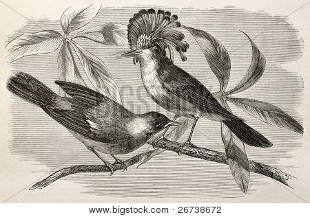 Old illustration of Royal flycatcher (Onychorhynchus coronatus). Created by Riou, after Rouyer and Badoursau, published on Le Tour du Monde, Paris, 1864