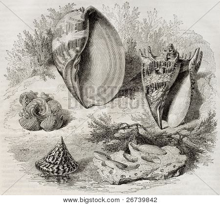 Shells: old illustration of Trochus niloticus, Trochus agglutinant, Pholade dactyle, Melo amphora and Voluta imperialis. By Freeman and Gusman, published on Magasin Pittoresque, Paris, 1850