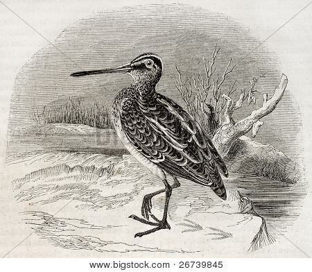 Old illustration of a snipe (Scolopax gallinago). By unidentified author, published on Magasin Pittoresque, Paris, 1850