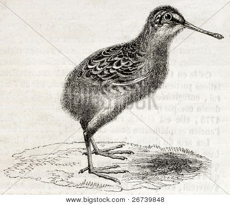 Old illustration of a snipe chick (Scolopax gallinago). By unidentified author, published on Magasin Pittoresque, Paris, 1850