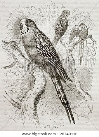 Old illustration of Budgerigar (Melopsittacus undulatus). Created by Kretschmer and Jahrmargt, published on Merveilles de la Nature, Bailliere et fils, Paris, 1878