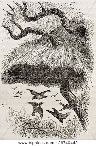 Old illustration of sociable weaver (Philetairus socius). Created by Kretschmer and Jahrmargt, published on Merveilles de la Nature, Bailliere et fils, Paris, 1878