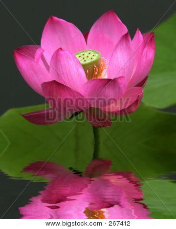 Lotus 002