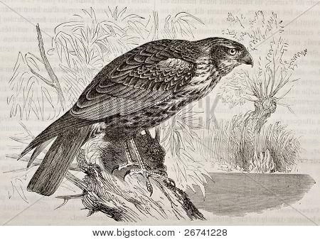 Antiga ilustração de Western Marsh Harrier (Circus aeroginosus). Criado por Kretschmer, publicado em