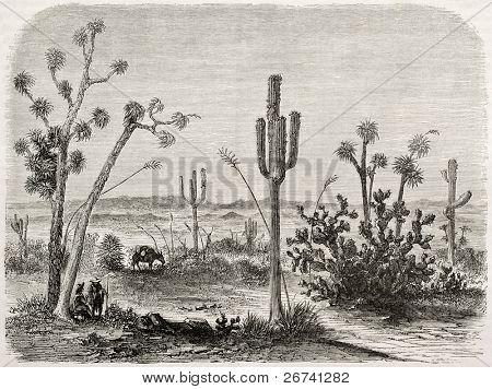 Antiga ilustração de Cereus giganteus. Criado por Lancelot e Maurand após relatório feito sob o di