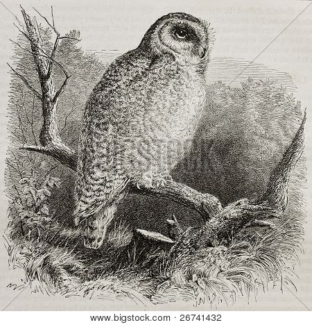 Old illustration of Snowy Owl (Bubo scandiacus). Created by unidentified author, published on Merveilles de la Nature, Bailliere et fils, Paris, 1878