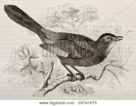 Grey Catbird old illustration (Dumetella carolinensis). Created by Kretschmer and Schmid, published on Merveilles de la Nature, Bailliere et fils, Paris, 1878