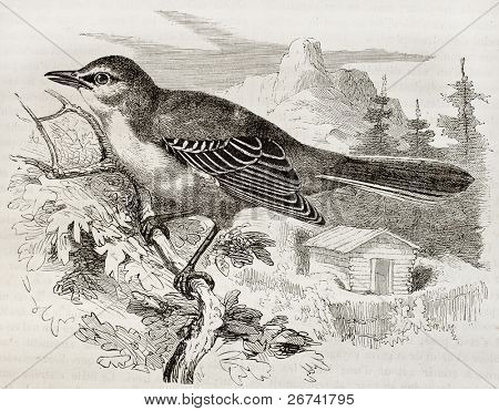 Northern Mockingbird old illustration (Mimus Polyglottos). Created by Kretschmer and Illner, published on Merveilles de la Nature, Bailliere et fils, Paris, 1878