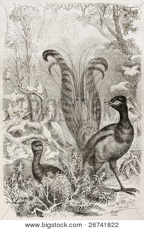 Superb Lyrebird old illustration (Menura novaehollandiae). Created by Kretschmer and Illner, published on Merveilles de la Nature, Bailliere et fils, Paris, 1878