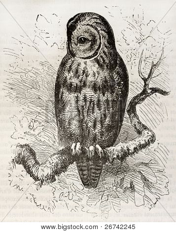 Tawny Owl old illustration (Strix aluco). Created by Kretschmer and Wendt, published on Merveilles de la Nature, Bailliere et fils, Paris, 1878