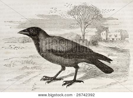 Hooded Crow old illustration (Corvus cornix). Created by Kretschmer and Jahrmargt, published on Merveilles de la Nature, Bailliere et fils, Paris, 1878